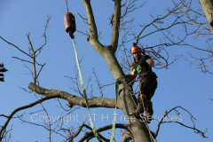 Tree Removal Using A Crane In Essex
