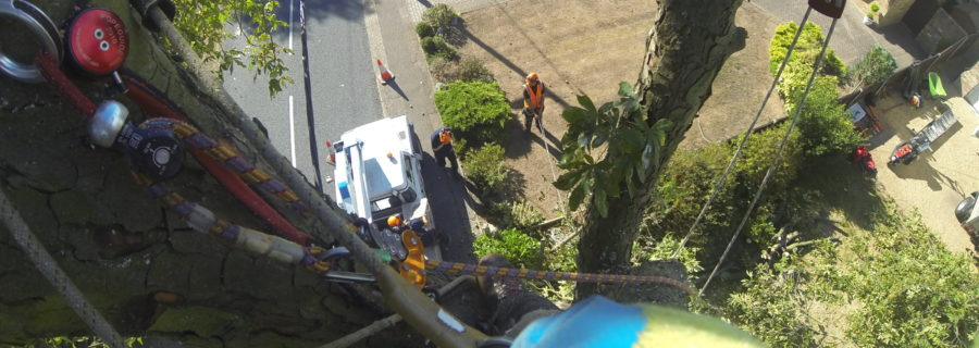 Horse Chestnut Tree Removal In Wickford By T.H Tree Services