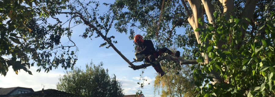eucalyptus tree removal in rayleigh