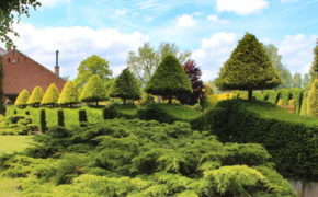 Yew tree pruning