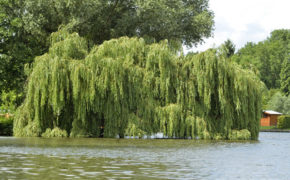 When to prune a weeping willow