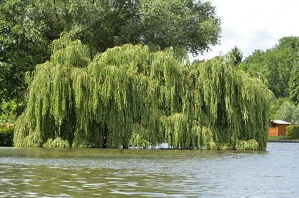 Weeping Willow Tree Tree Surgeons Essex Th Tree Services Tree