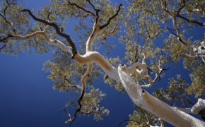Eucalyptus tree pruning