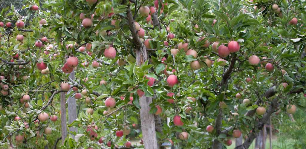 Apple Tree Pruning A Guide To Perfect Timing T H Tree