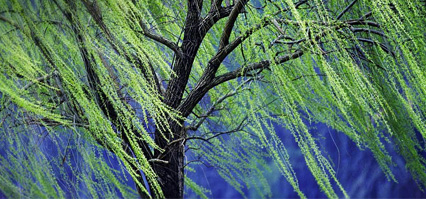 Wind blowing a Willow Tree