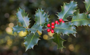 Holly Tree pruning