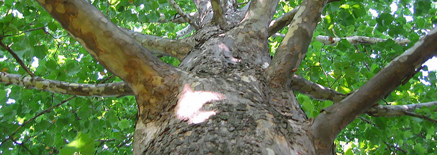 When Should I Prune My Sycamore Tree Surgeons Es