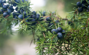 Juniper tree pruning