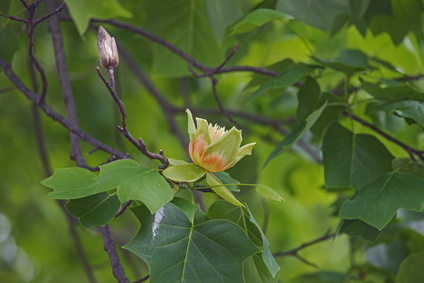 Tulip tree pruning