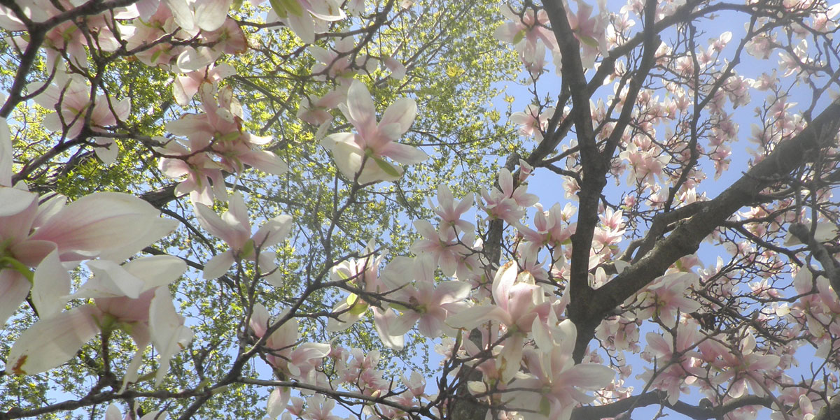 When Is The Best Time To Prune A Magnolia Tree Tree Surgeons