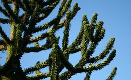 Monkey puzzle tree pruning