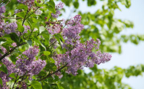 When to prune common lilac