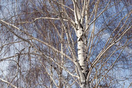 Prune a silver birch tree