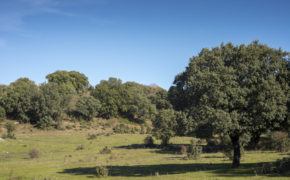 Prune a holm oak