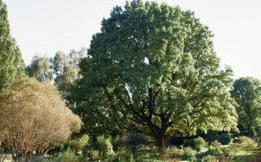 Prune a sessile oak