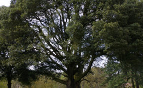 Holm Oak Tree