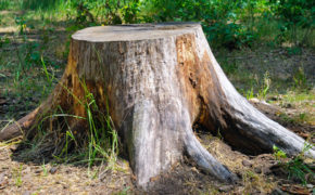 remove a tree stump