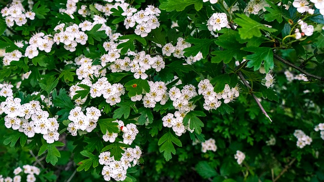 Hawthorn blossom trees for small gardens