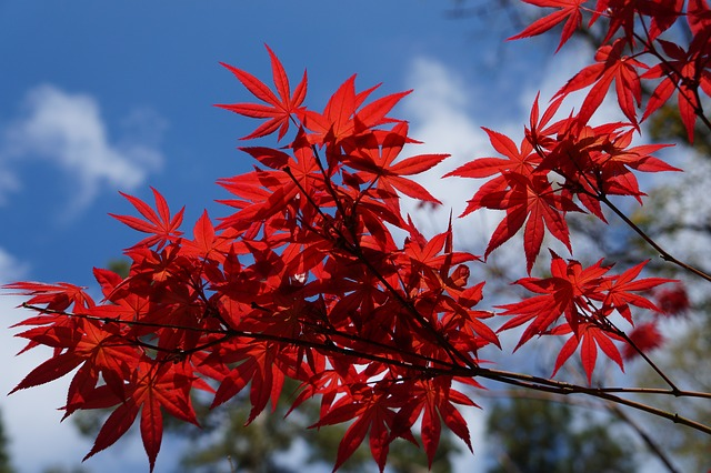 Japanese maple trees for small gardens