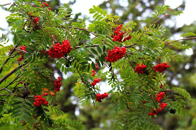 Rowan tree for small gardens
