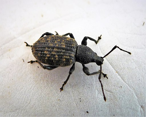 Vine weevil insect