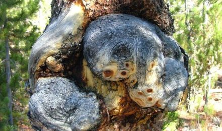 Tree burrs and bacterial ooze in response to tree damage