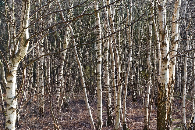 Silver birch fast growing trees